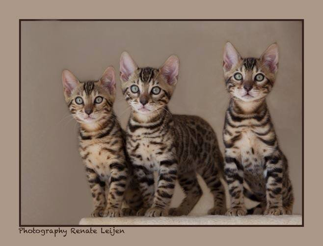 kittensbengaal